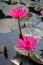 Pink lotus in the pond Royalty Free Stock Photo