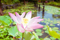 Pink lotus on the pond in bali indonesia Stock Photos