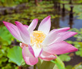 Pink lotus on the pond in bali indonesia Royalty Free Stock Photography