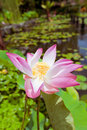 Pink lotus on the pond in bali indonesia Stock Images
