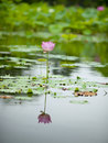 Pink lotus reflection Stock Photography
