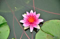 Pink lotus in water a beautiful are blooming Royalty Free Stock Image