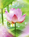 Pink lotus water flower sun beams summer scene Royalty Free Stock Photos