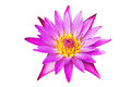 Pink lotus water lily blooming isolated on white background Royalty Free Stock Photo