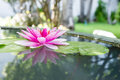 Pink lotus or water lily in pond Royalty Free Stock Photo