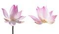 Pink lotus waterlily Royalty Free Stock Photo