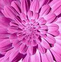 Pink magenta camomile daisy flower spiral petals abstract fractal effect pattern background. Floral spiral abstract pattern swirl Royalty Free Stock Photo