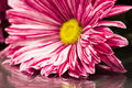 Pink and magenta chrysanthemums with details and reflexions mirror Stock Images