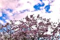 Pink magnolia blossom beautiful on sky background Royalty Free Stock Photo