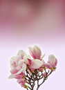 Pink Magnolia branch flowers, close up, pink to mauve degradee background Royalty Free Stock Photo