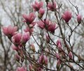 Pink Magnolia buds opening for spring Royalty Free Stock Photo