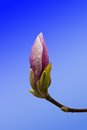 Pink magnolia flower bud closeup Royalty Free Stock Photo