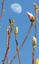 Pink magnolia flower buds over blue sky with moon evening Stock Photo