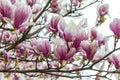 Pink magnolia flower in the garden