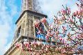Pink magnolia flowers in full bloom and the Eiffel tower Royalty Free Stock Photo