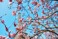 Pink magnolia in full bloom and Eiffel tower over the blue sky Royalty Free Stock Photo