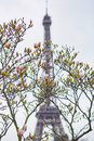 Pink magnolia in full bloom and Eiffel tower Royalty Free Stock Photo