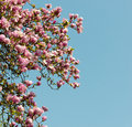 Pink magnolia tree blossoms in springtime against the blue sky Royalty Free Stock Image