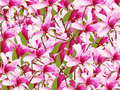 Pink magnolias Royalty Free Stock Photo