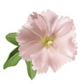 Pink mallow on white background Stock Images