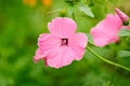 Pink Malva Moschata (Musk-Mallow) Flowers Stock Photos