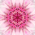 Pink mandala flower center concentric kaleidoscope design of cornflower close up mirrored kaleidoscopic of the of the Stock Image