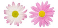 Pink marguerite two flowers isolated on a white background Stock Photo