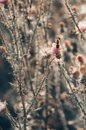 Pink milk thistle flowers in wild natur with bee collecting pollen, Silybum marianum herbal remedy, Saint Mary`s Thistle