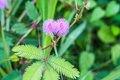 Pink mimosa flowers in a field of green forest Royalty Free Stock Photo