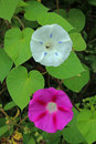 PINK MORNING GLORY FLOWER AND ...
