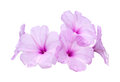 Pink morning glory flowers Royalty Free Stock Photo