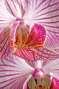Pink moth orchid phalaenopsis, large detailed vertical closeup macro Royalty Free Stock Photo