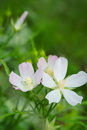 Pink Musk Mallow Royalty Free Stock Photo