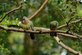 Pink-necked Green-Pigeon (Treron vernans) Stock Images