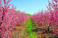 Pink Nectarine Trees, Israel Royalty Free Stock Photo