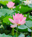 Pink nuphar flowers, green field on lake, water-lily, pond-lily, spatterdock, Nelumbo nucifera, also known as Indian lotus Royalty Free Stock Photo