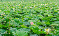 Pink nuphar flowers green field on lake water lily pond lily spatterdock nelumbo nucifera also known as indian lotus sacred Royalty Free Stock Images