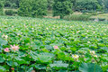 Pink nuphar flowers green field on lake water lily pond lily spatterdock nelumbo nucifera also known as indian lotus sacred Stock Photos