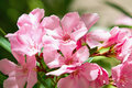 Pink oleander flower Stock Photography