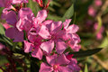 Pink oleander flower closeup shot of flowers on shrub Royalty Free Stock Photography