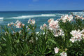 Pink oleander flower with a mediterranean beach in sardinia in the background Stock Photo