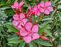 Pink oleander flowers natural bouquet Royalty Free Stock Photo