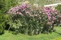 Pink oleander flowers nerium oleander in a green garden big blooming abundantly Stock Photos