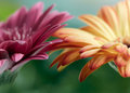 Pink and orange daisy gerbera flowers Royalty Free Stock Photo