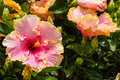 Pink and orange hibiscus flowers Royalty Free Stock Photo