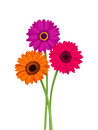 Pink, orange and purple gerbera flowers. Vector illustration. Royalty Free Stock Photo