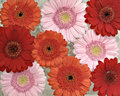 Pink, orange and red Gerber Royalty Free Stock Photo