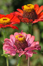 Pink and orange zinnia flowers beautiful blooming in summer Stock Photo