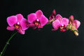 Pink orchid on black Royalty Free Stock Photo