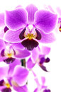 Pink orchid branch macro photo Stock Photos
